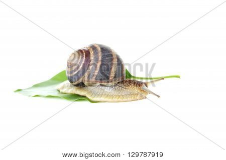 Brown Snail On Green Leaf On A White Background