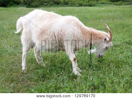 goat are grazing on the grass in the village