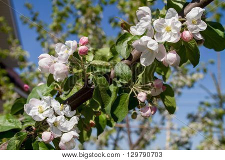Fruit-tree, spring blossoming, white flowers and unblown buds