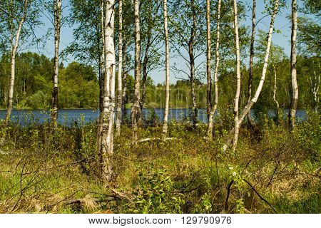 The Leningrad region - 5/12/2016: the spring birch wood on the bank of the lake