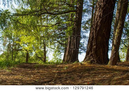 Coniferous forest in the sunny, spring afternoon, avenue of old larches