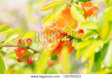 Bright pink buds of a quince close up. Buds are lit with a sunlight on an indistinct light background.