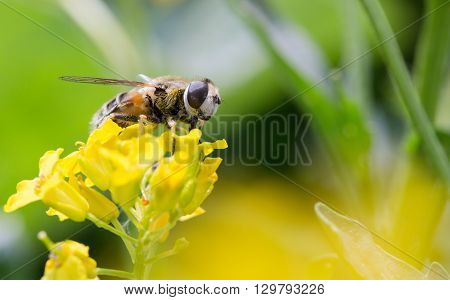 Bee on a yellow flower a close up. Copyspace on the right small depth of sharpness