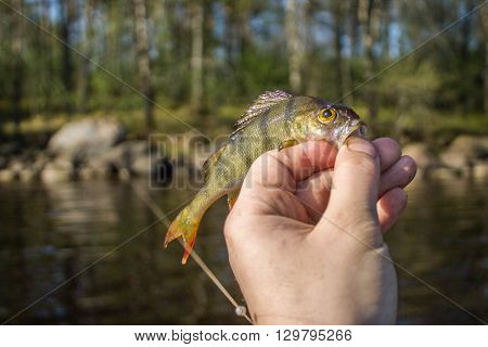 Fisherman on the river bank, a fisherman caught a perch. Fisherman holding a perch in his hand. Big bass, silicone lures, fish, catch, spinning - concept of active rest.Article about fishing and fish.