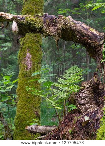 Moss and fern closeup in summer grows over partly decomposet root of tree, Bialowieza Forest, Poland, Europe