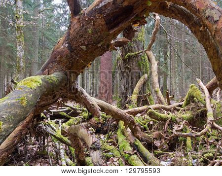 Moss wrapped broken branch lying with and fungi grows over, Bialowieza Forest, Poland, Europe
