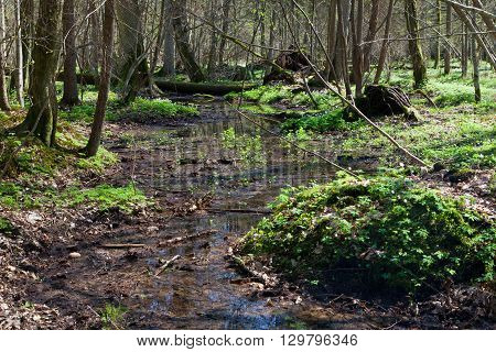 Small stream flowing across springtime deciduous stand of Bialowieza Forest, Bialowieza Forest, Poland, Europe