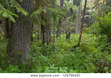 Summertime look of natural riparian stand rain after, Bialowieza Forest, Poland, Europe