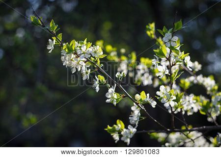 Plum branch with white blossoms and green leaves