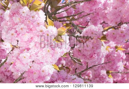 Inflorescence of pink flowers of decorative cherry