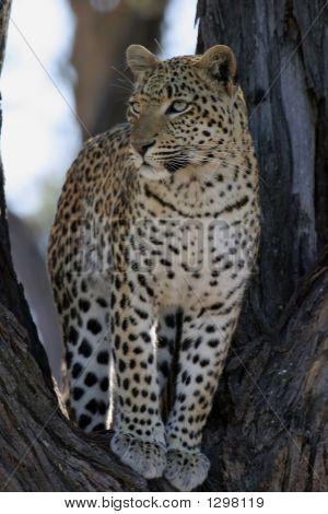 African Leopard In Tree