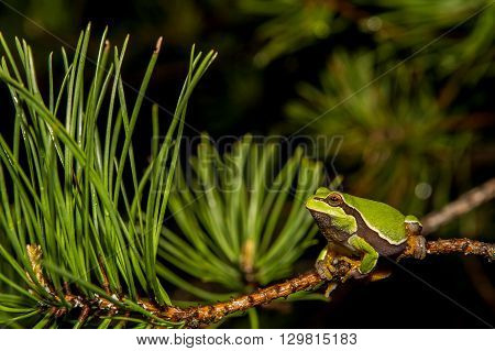 A Pine Barrens Treefrog crawling in a pine tree.