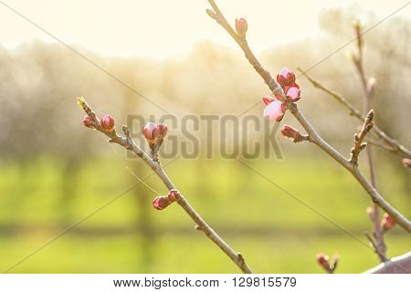 Apricot tree branches with flower buds at sunset on a blurred background orchard backlit. Selective focus