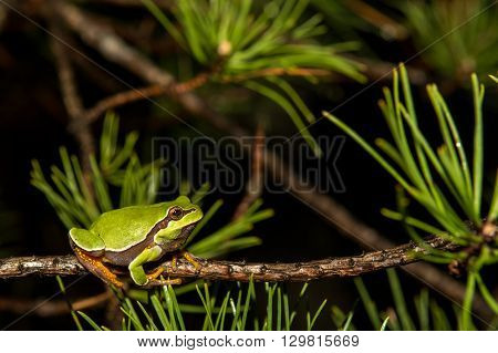 A Pine Barrens Treefrog climbing on a branch in the woods.