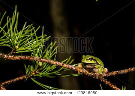 A Pine Barrens Treefrog climbing on a branch.