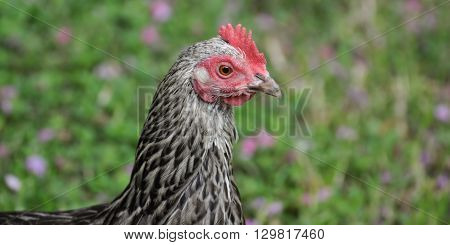 A chicken in closeup showing the barred pattern on the feathers.