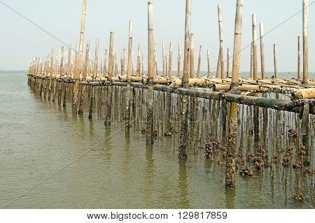 Oysters Farm In The Sea