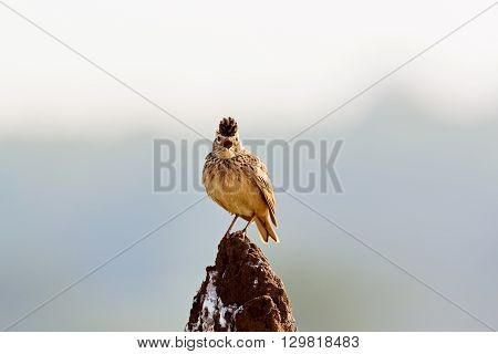 The Malabar lark, or Malabar crested lark is a sedentary breeding bird in western India. It lives in open country, cultivation and scrub land. It nests on the ground, laying two or three eggs.