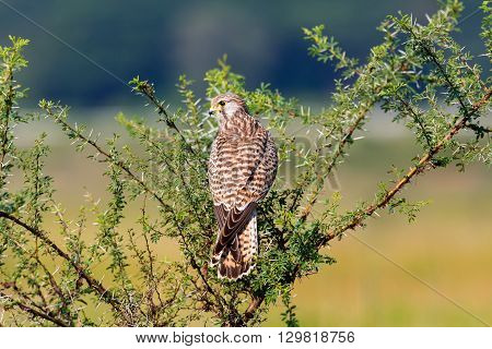 The common kestrel a bird of prey species belonging to the kestrel group of the falcon family. It is also known as the European kestrel, Eurasian kestrel, or Old World kestrel.