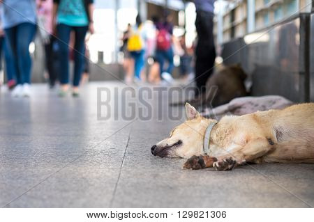Street dogs, abandoned dog sleeping on the sky walkway in Bangkok, Thailand. conceptual of street animal ,helping animal.