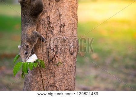 Eastern Grey Squirrel eating bread (Sciurus carolinensis) on a tree.
