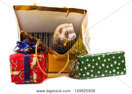 young ferret with Christmas gifts isolated on white background