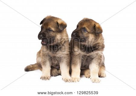 two cute sheepdogs puppies are isolated on white background