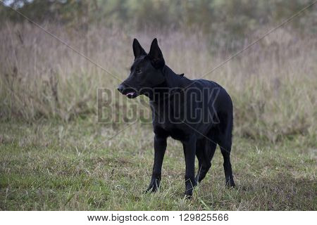 black German sheepdog is standing on grass