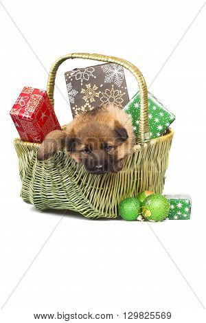 Sheepdog Puppy In Basket With Christmas Gifts