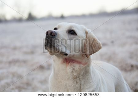 Labrador Retriever Dog With Wound In Neck