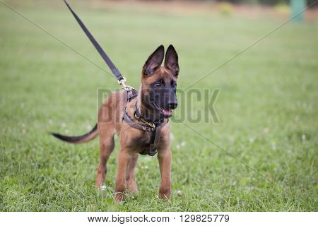 young Belgian shepherd is walking by the grass