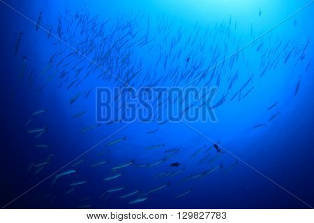 Barracuda fish and blue ocean background
