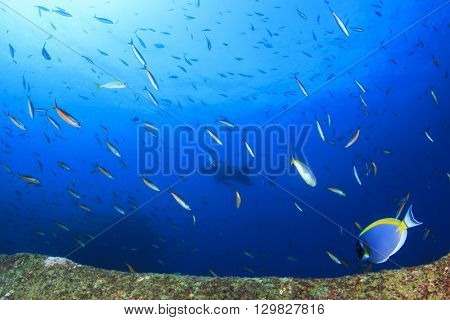 Tropical fish in sea with manta ray in background
