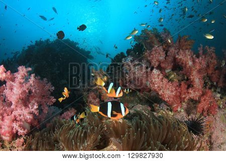 Clarke's Clownfish (Anemonefish) on coral reef in sea