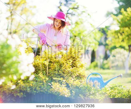 Woman wearing hat and gloves with pruning shears cutting evergreen bittersweet shrub plant. Maintenance gardening concept.