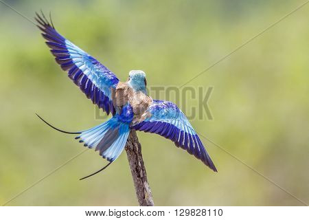 Specie Coracias caudatus family of Coraciidae, lilac breasted roller flying, Kruger