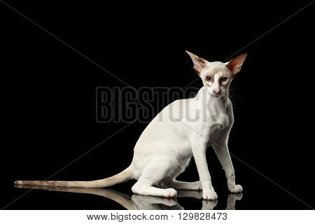 Playful White Oriental Cat With Big Ears Sitting and Looking in Camera Black Isolated Background