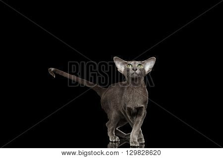 Gray Oriental Cat With Big Ears Standing in a graceful pose and raised tail and Looking up Black Isolated Background