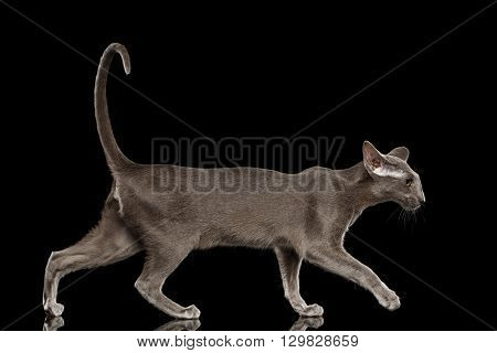 Gray Oriental Cat With Big Ears Walking Side view Black Isolated Background