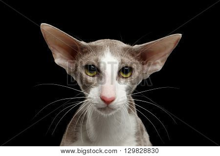 Closeup Portrait of White Oriental Cat With Big Ears Looking in Camera Black Isolated Background