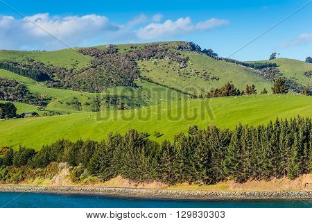 Beautiful landscape of the New Zealand - hills covered by green grass with herds of sheep - near Dunedin at Otago Region Southern island New Zealand