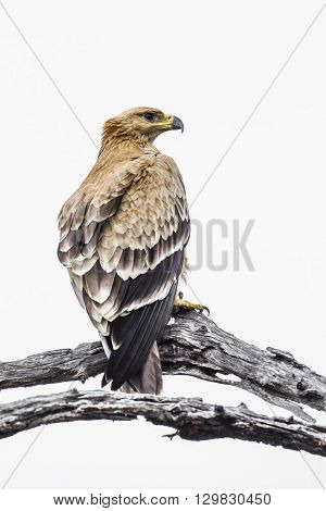 Specie Aquila rapax family of Accipitridae, tawny eagle on a branch in white background