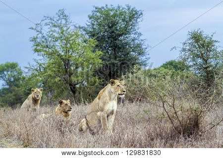 Specie panthera leo family of felidae, african lioness and youngs lion in kruger park, South Africa