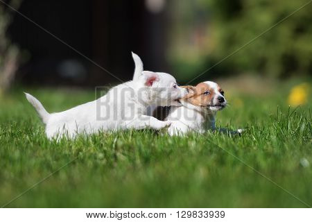 two jack russell terrier puppies playing outdoors