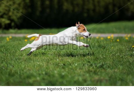 happy jack russell terrier dog running outdoors