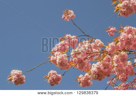 Prunus blossom in Leidschendam in the Netherlands.