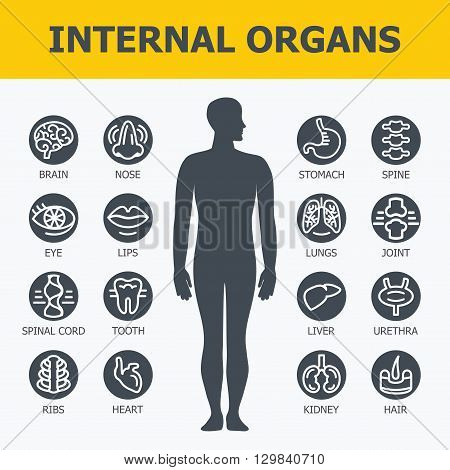 Internal organs set. Medical infographic icons, human organs, body anatomy. Vector icons of internal human organs Flat design. Internal organs icons. Internal organs icons art.