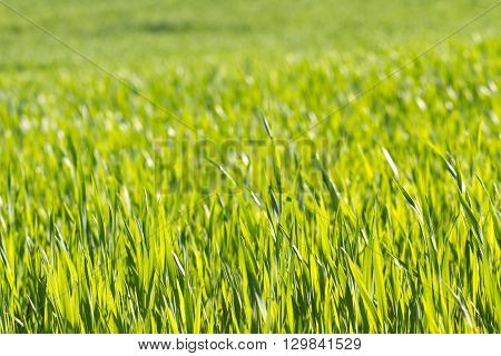 Green grass texture. Field of wheat sprouts, Ukraine