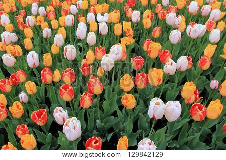 Beautiful landscaped garden with bright and colorful bed of tulips