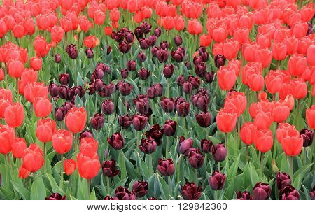 Gorgeous landscape of bright red and deep purple tulips, a sure sign that Spring has arrived.